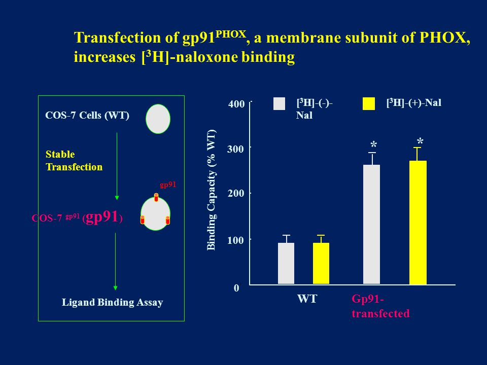 Transfection of gp91 PHOX, a membrane subunit of PHOX, increases [ 3 H]-naloxone binding 0 100 200 300 [ 3 H]-(-)- Nal Binding Capacity (% WT) WT [ 3 H]-(+)-Nal * Gp91- transfected 400 COS-7 Cells (WT) Ligand Binding Assay Stable Transfection COS-7 gp91 ( gp91 ) gp91 *