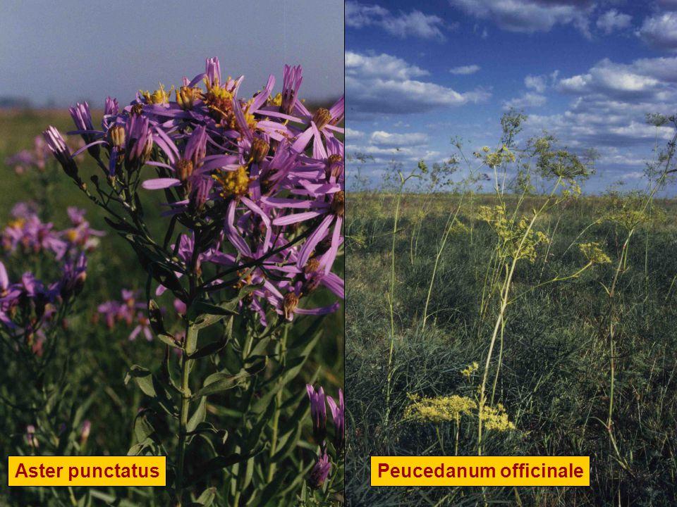 Peucedanum officinaleAster punctatus