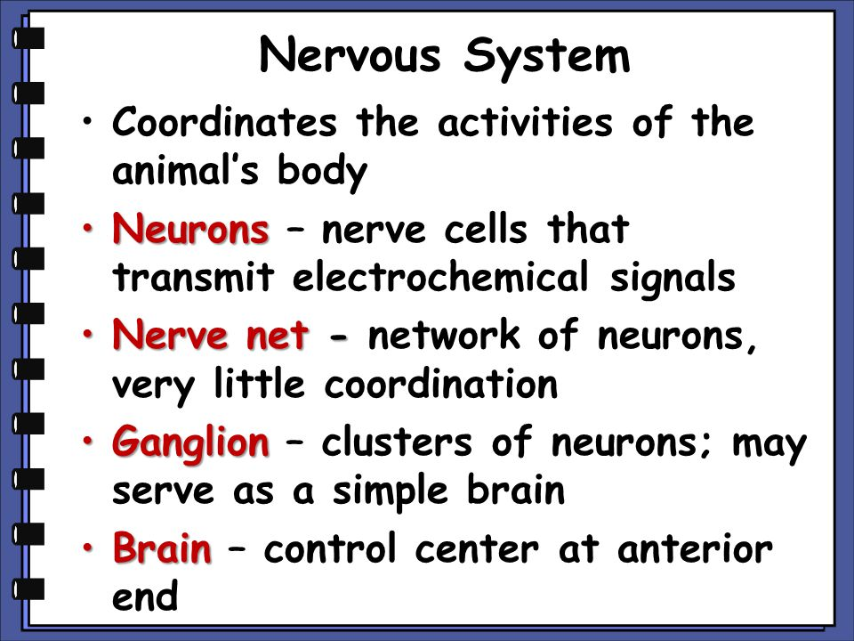 Nervous System Coordinates the activities of the animal's body NeuronsNeurons – nerve cells that transmit electrochemical signals Nerve net -Nerve net