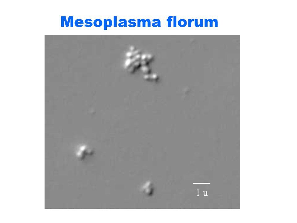 Mesoplasma florum 1 u