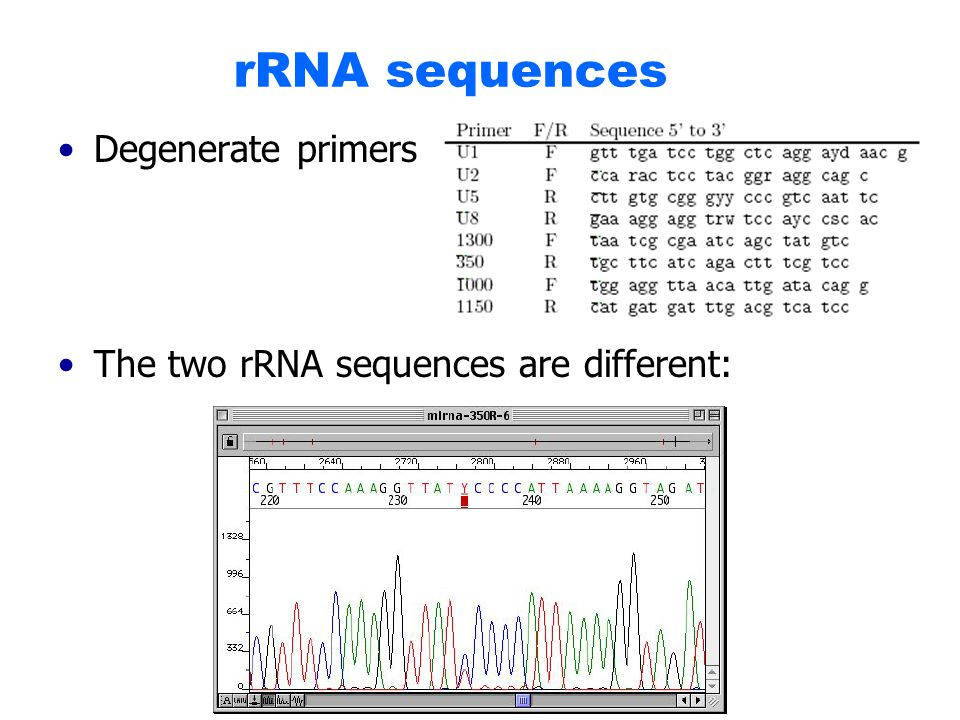 rRNA sequences Degenerate primers The two rRNA sequences are different: