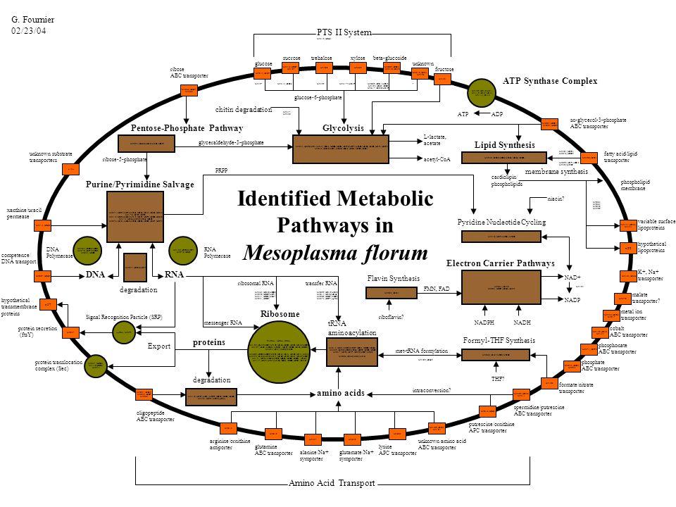 Mfl214, Mfl187 Mfl516, Mfl527, Mfl187 Mfl500Mfl669 Mfl009, Mfl033, Mfl318, Mfl312 Mfl666, Mfl667, Mfl668 Mfl023, Mfl024, Mfl025, Mfl026 ribose ABC transporter glucose sucrosetrehalosexylose unknown fructose sn-glycerol-3-phosphate ABC transporter Mfl254, Mfl180, Mfl514, Mfl174, Mfl644, Mfl200, Mfl504, Mfl578, Mfl577, Mfl502, Mfl120, Mfl468, Mfl175, Mfl259 Mfl039, Mfl040, Mfl041, Mfl042, Mfl043, Mfl044, Mfl596, Mfl281 Glycolysis Mfl497Mfl515, Mfl526Mfl499Mfl317 , Mfl313 .
