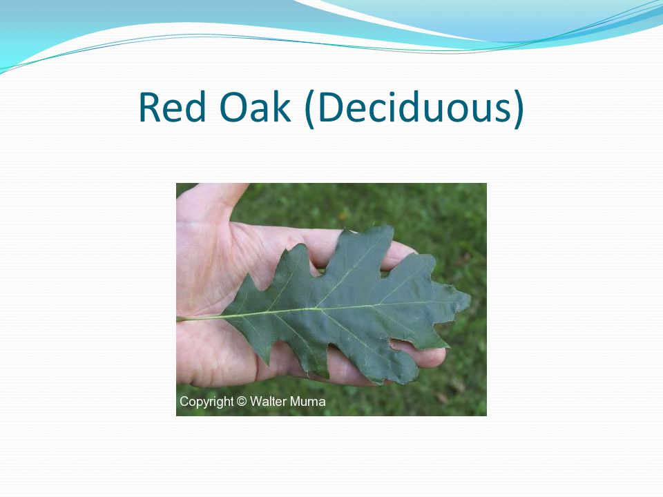 Red Oak (Deciduous)
