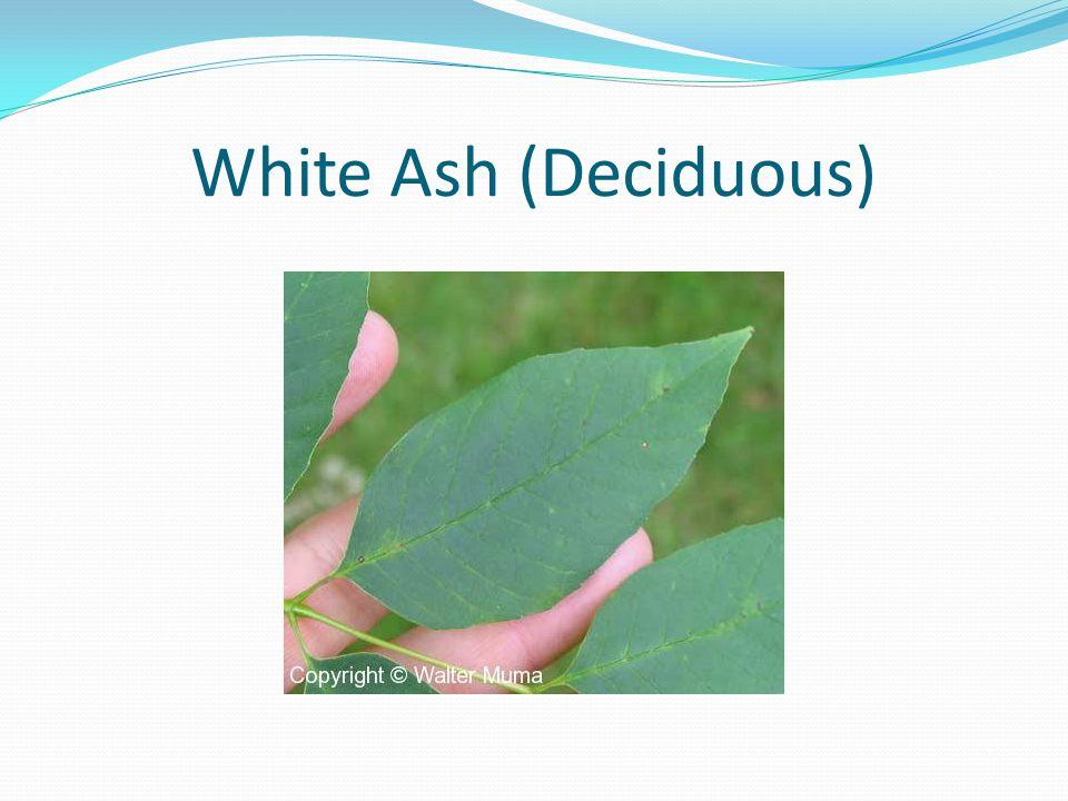 White Ash (Deciduous)