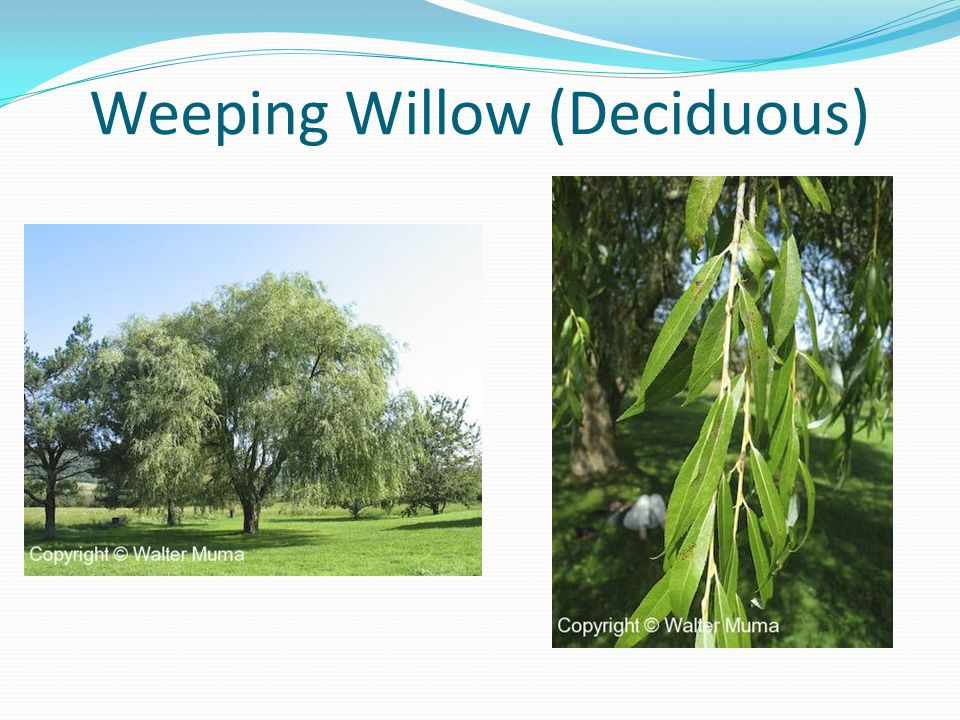 Weeping Willow (Deciduous)
