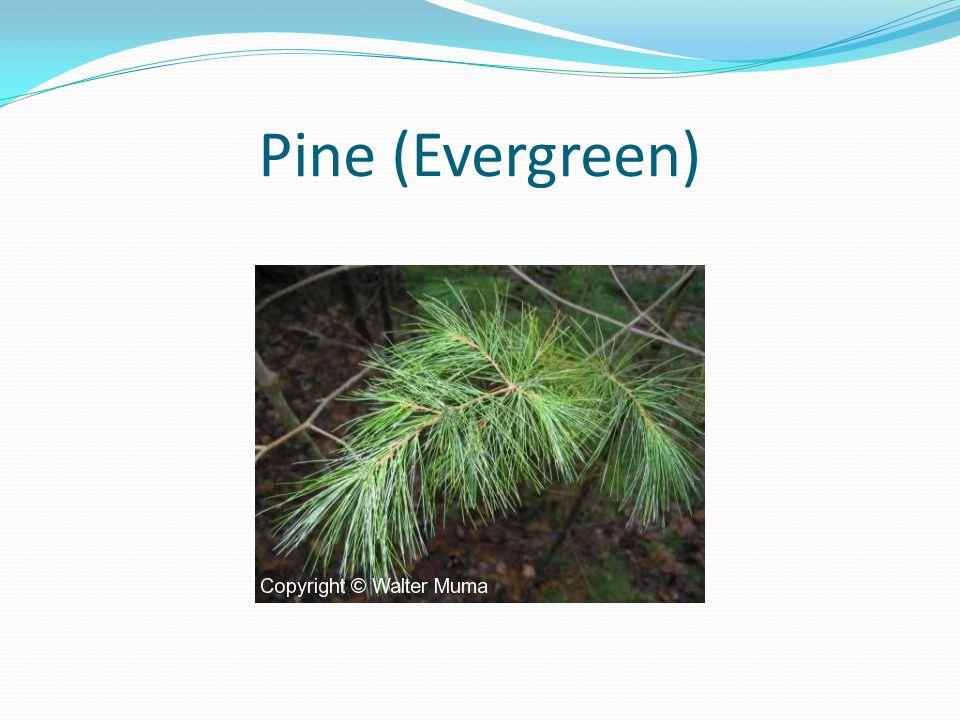 Pine (Evergreen)