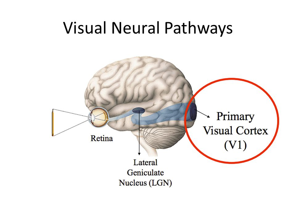 Visual Neural Pathways