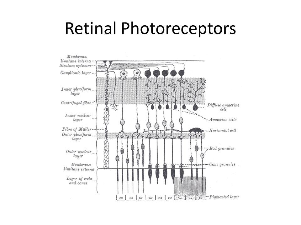 Retinal Photoreceptors