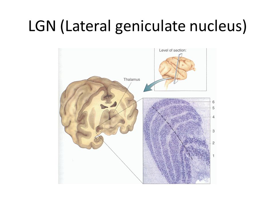 LGN (Lateral geniculate nucleus)