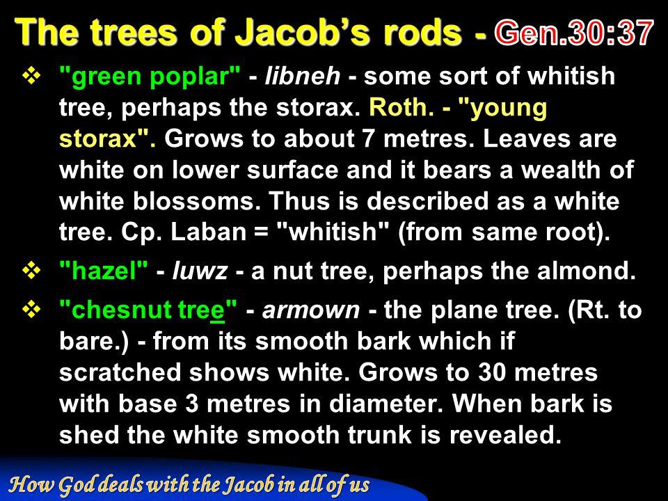  green poplar - libneh - some sort of whitish tree, perhaps the storax.
