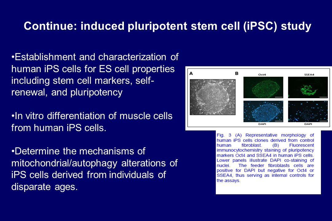 Continue: induced pluripotent stem cell (iPSC) study Establishment and characterization of human iPS cells for ES cell properties including stem cell markers, self- renewal, and pluripotency In vitro differentiation of muscle cells from human iPS cells.