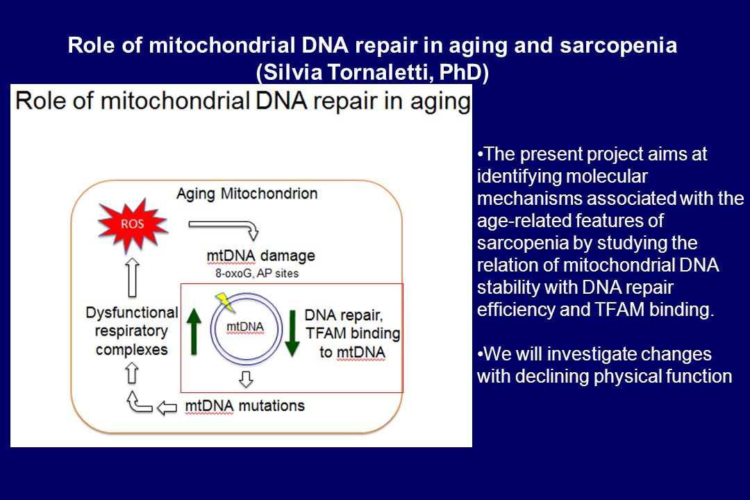 The present project aims at identifying molecular mechanisms associated with the age-related features of sarcopenia by studying the relation of mitochondrial DNA stability with DNA repair efficiency and TFAM binding.