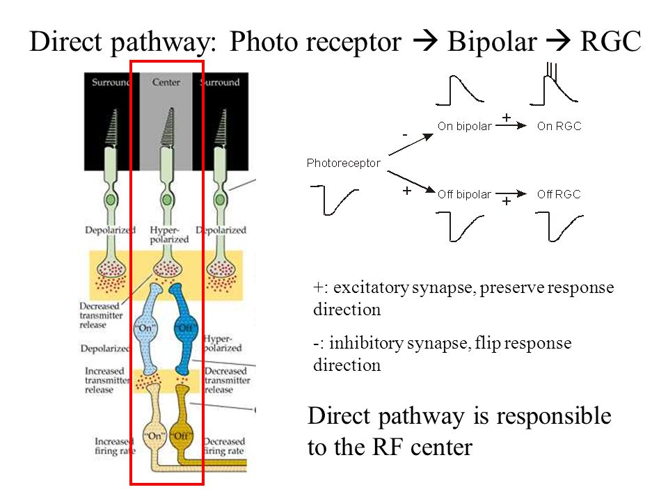 Direct pathway: Photo receptor  Bipolar  RGC Direct pathway is responsible to the RF center +: excitatory synapse, preserve response direction -: in