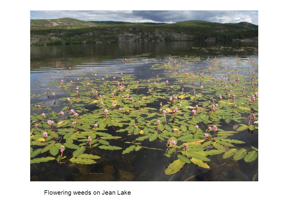Flowering weeds on Jean Lake