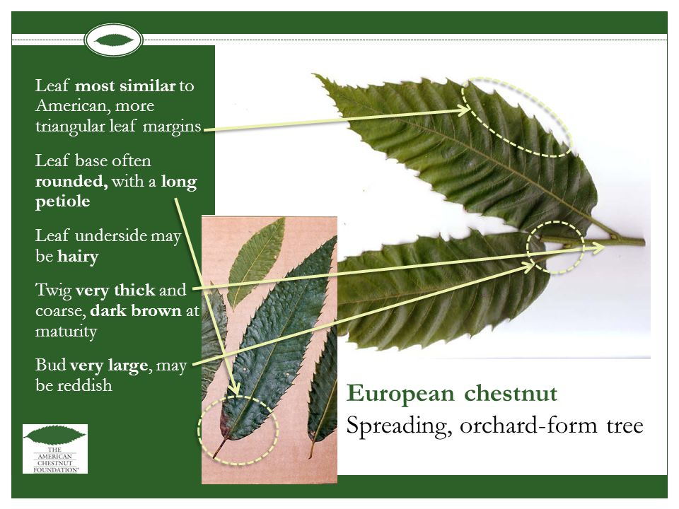 European chestnut Spreading, orchard-form tree Leaf most similar to American, more triangular leaf margins Leaf base often rounded, with a long petiole Leaf underside may be hairy Twig very thick and coarse, dark brown at maturity Bud very large, may be reddish