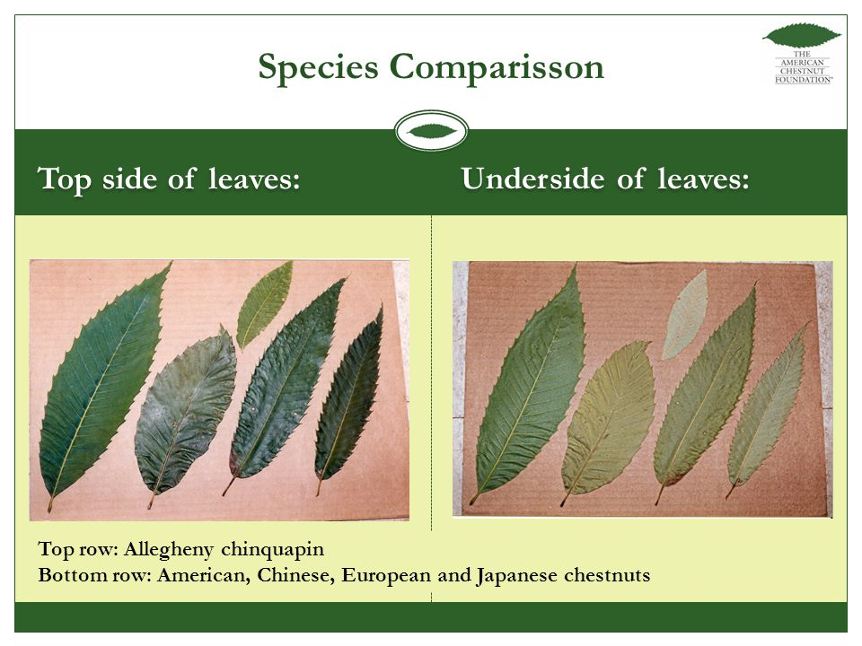 Top side of leaves: Underside of leaves: Species Comparisson Top row: Allegheny chinquapin Bottom row: American, Chinese, European and Japanese chestnuts