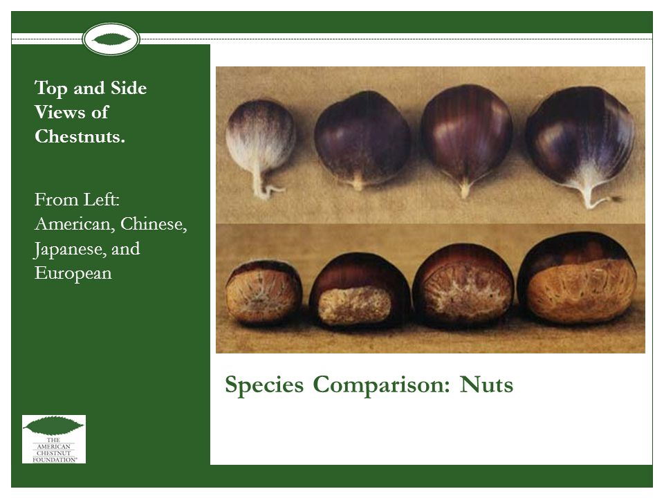 Species Comparison: Nuts Top and Side Views of Chestnuts.