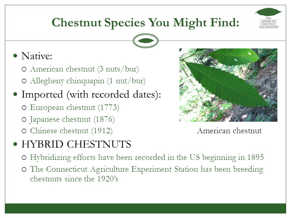 Native:  American chestnut (3 nuts/bur)  Allegheny chinquapin (1 nut/bur) Imported (with recorded dates):  European chestnut (1773)  Japanese chestnut (1876)  Chinese chestnut (1912) HYBRID CHESTNUTS  Hybridizing efforts have been recorded in the US beginning in 1895  The Connecticut Agriculture Experiment Station has been breeding chestnuts since the 1920's Chestnut Species You Might Find: American chestnut