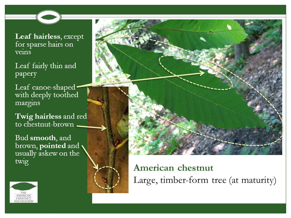 American chestnut Large, timber-form tree (at maturity) Leaf hairless, except for sparse hairs on veins Leaf fairly thin and papery Leaf canoe-shaped with deeply toothed margins Twig hairless and red to chestnut-brown Bud smooth, and brown, pointed and usually askew on the twig