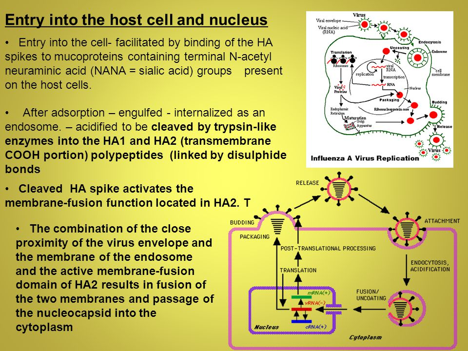 Entry into the host cell and nucleus Entry into the cell- facilitated by binding of the HA spikes to mucoproteins containing terminal N-acetyl neuraminic acid (NANA = sialic acid) groups present on the host cells.