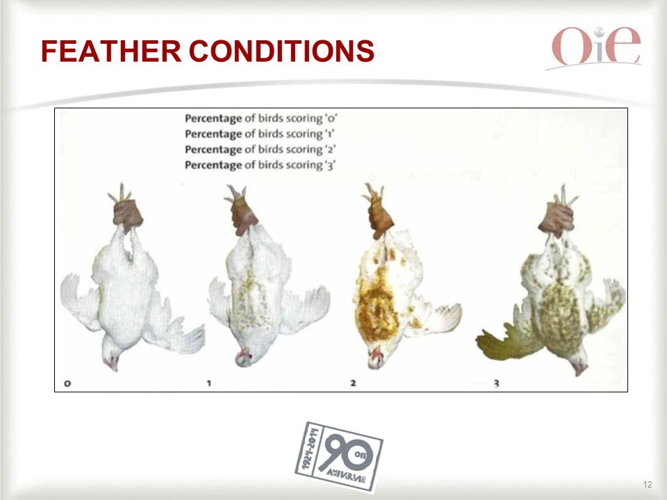 12 FEATHER CONDITIONS