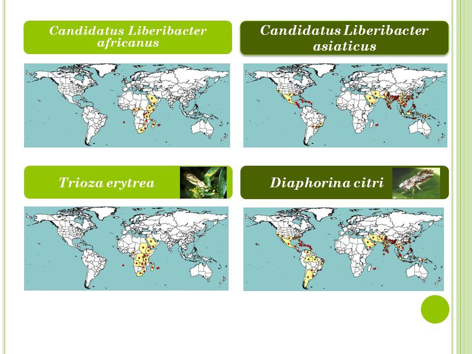 Trioza erytrea Candidatus Liberibacter africanus Candidatus Liberibacter asiaticus Diaphorina citri