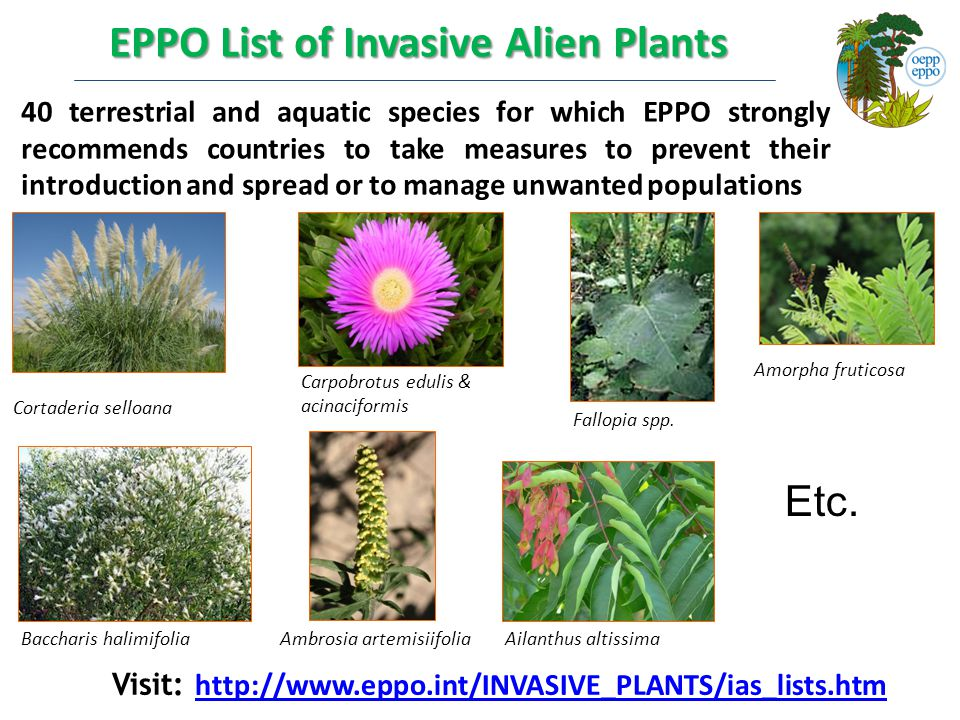 EPPO List of Invasive Alien Plants 40 terrestrial and aquatic species for which EPPO strongly recommends countries to take measures to prevent their introduction and spread or to manage unwanted populations Cortaderia selloana Carpobrotus edulis & acinaciformis Ambrosia artemisiifolia Fallopia spp.