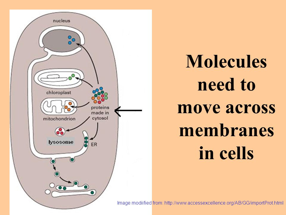 Molecules need to move across membranes in cells Image modiified from: