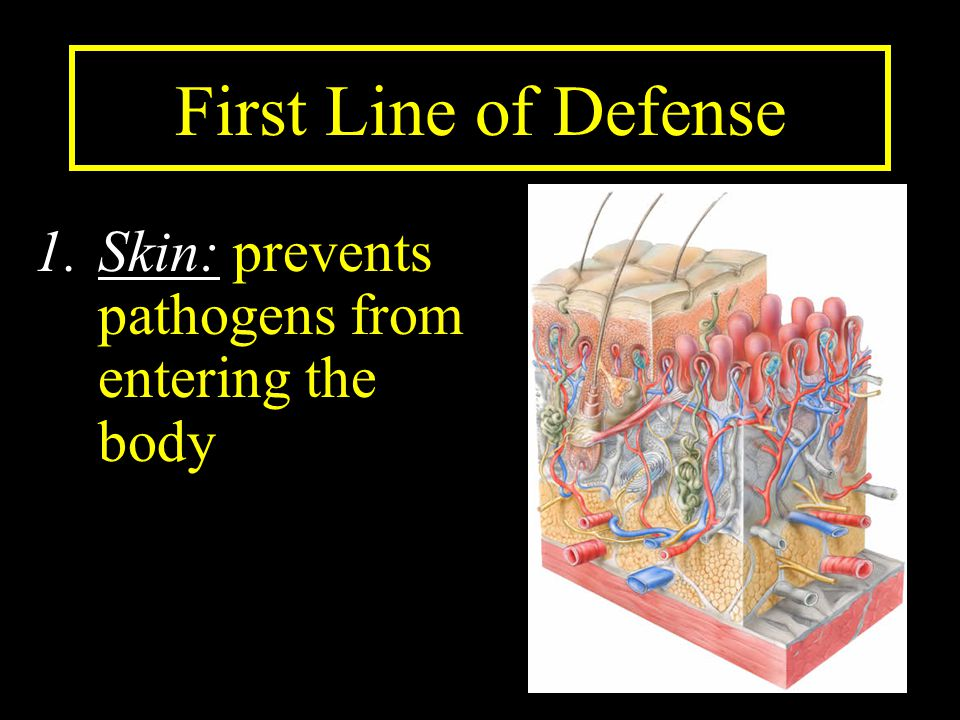 First Line of Defense 1.Skin: prevents pathogens from entering the body