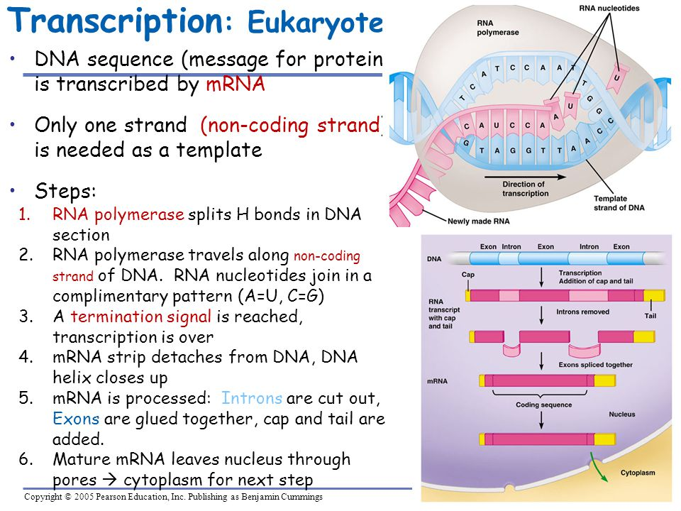 Copyright © 2005 Pearson Education, Inc. Publishing as Benjamin Cummings Transcription : Eukaryote DNA sequence (message for protein) is transcribed b