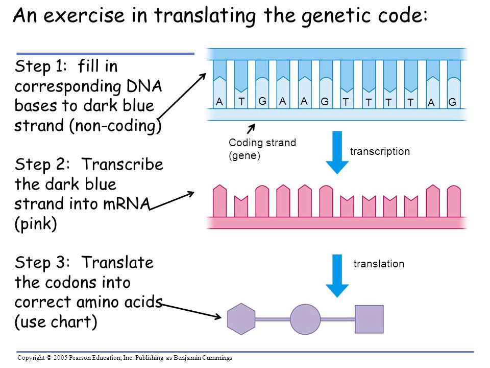Copyright © 2005 Pearson Education, Inc. Publishing as Benjamin Cummings An exercise in translating the genetic code: A AG T A G TTTA GT Step 1: fill