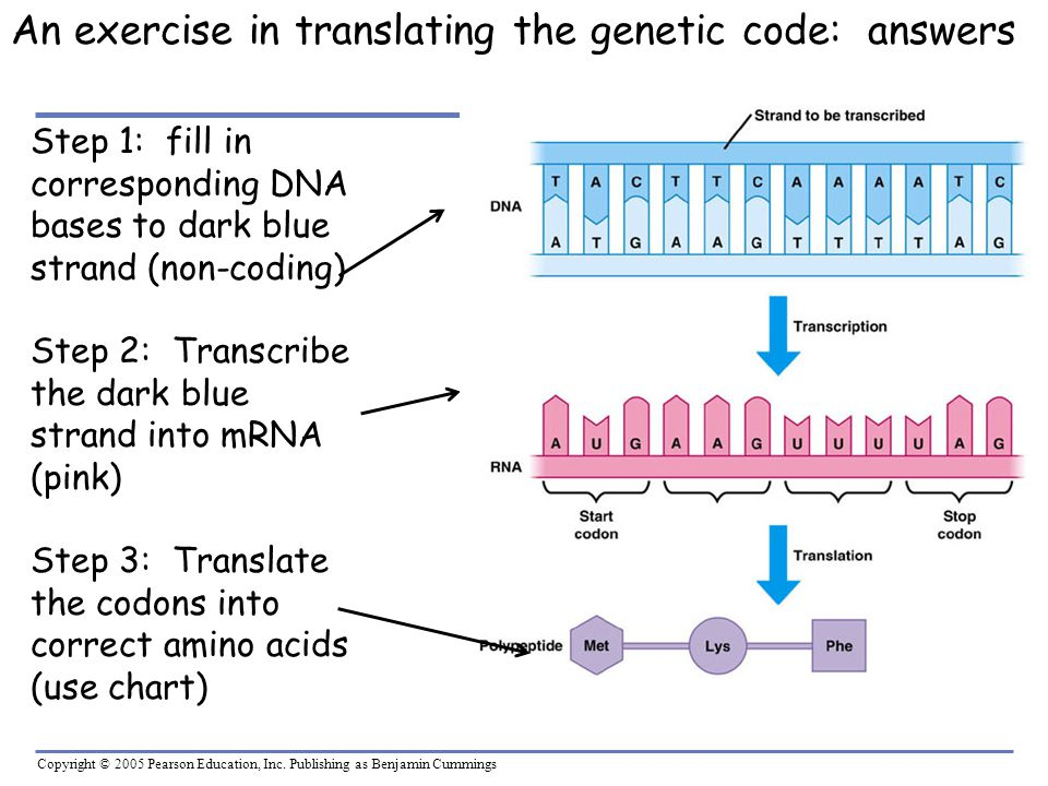 Copyright © 2005 Pearson Education, Inc. Publishing as Benjamin Cummings An exercise in translating the genetic code: answers Step 1: fill in correspo