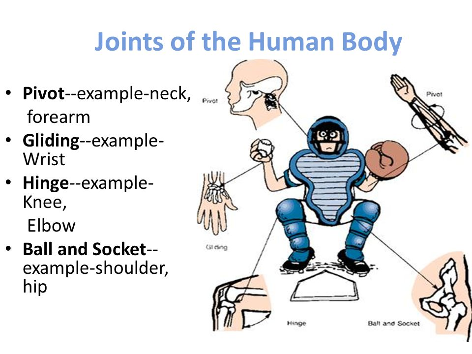 Joints of the Human Body Pivot--example-neck, forearm Gliding--example- Wrist Hinge--example- Knee, Elbow Ball and Socket-- example-shoulder, hip