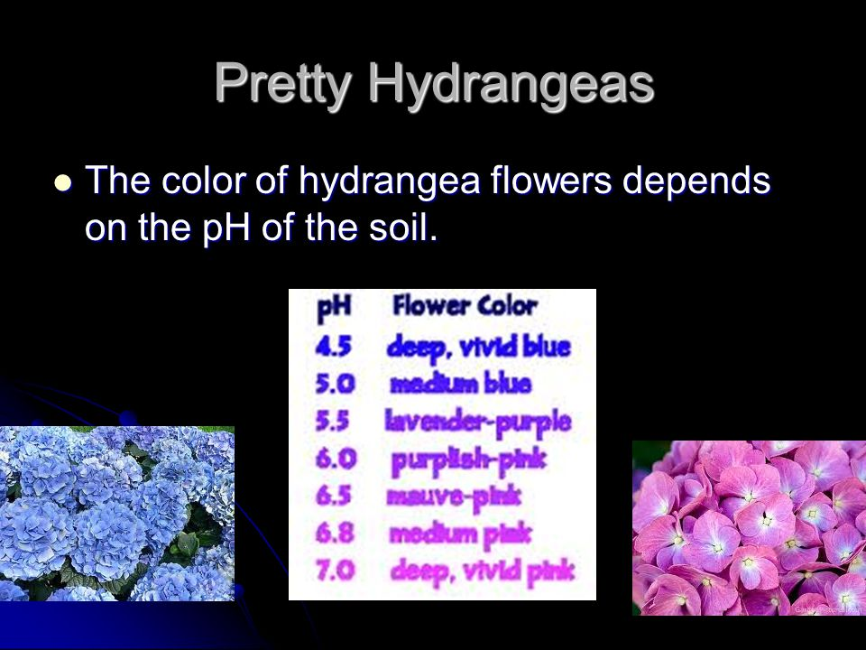 Pretty Hydrangeas The color of hydrangea flowers depends on the pH of the soil.