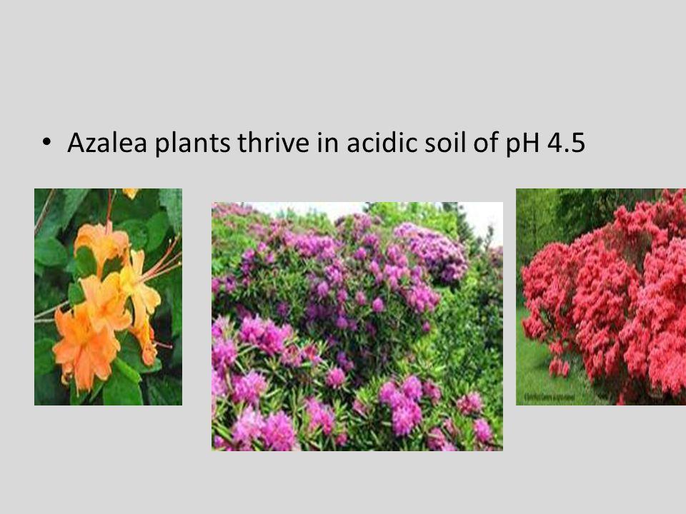 Azalea plants thrive in acidic soil of pH 4.5