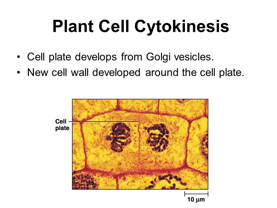 Plant Cell Cytokinesis Cell plate develops from Golgi vesicles. New cell wall developed around the cell plate. p