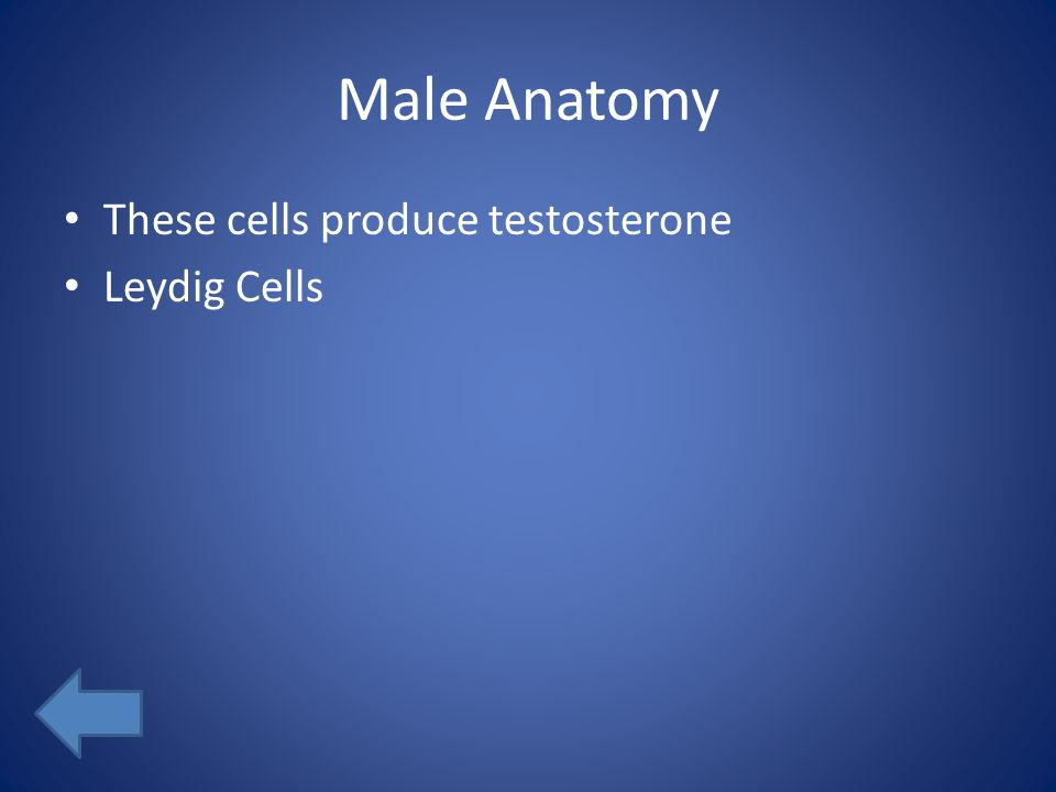 Male Anatomy These cells produce testosterone Leydig Cells