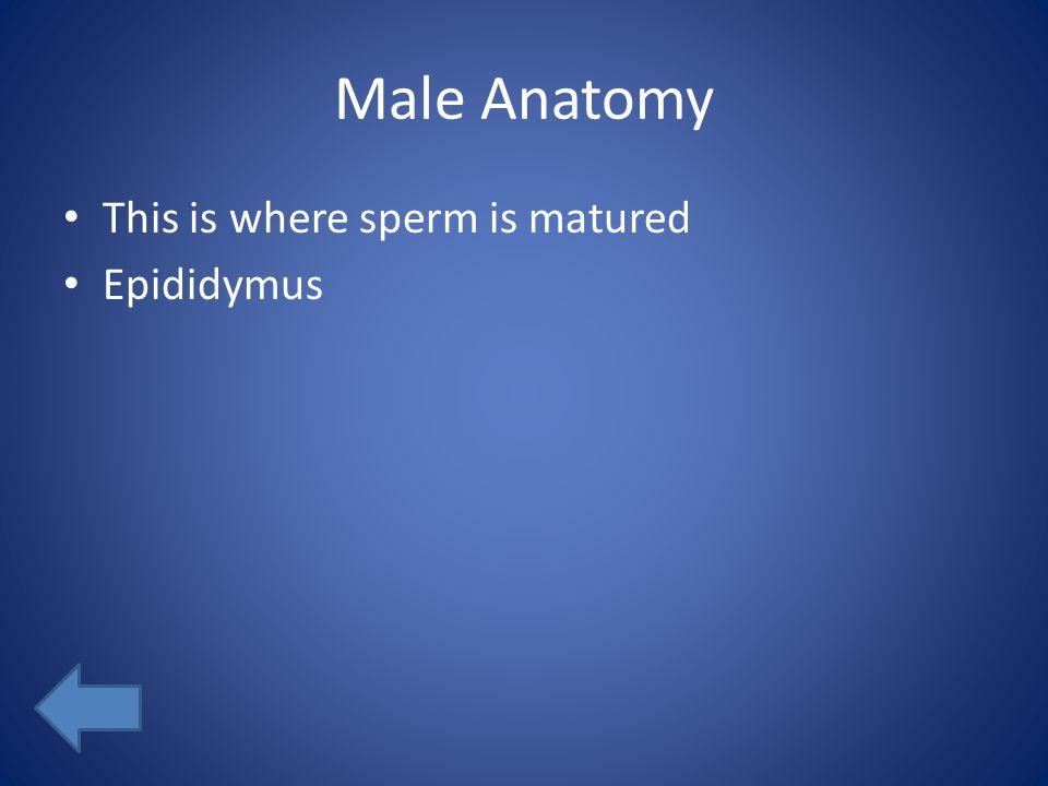 Male Anatomy This is where sperm is matured Epididymus