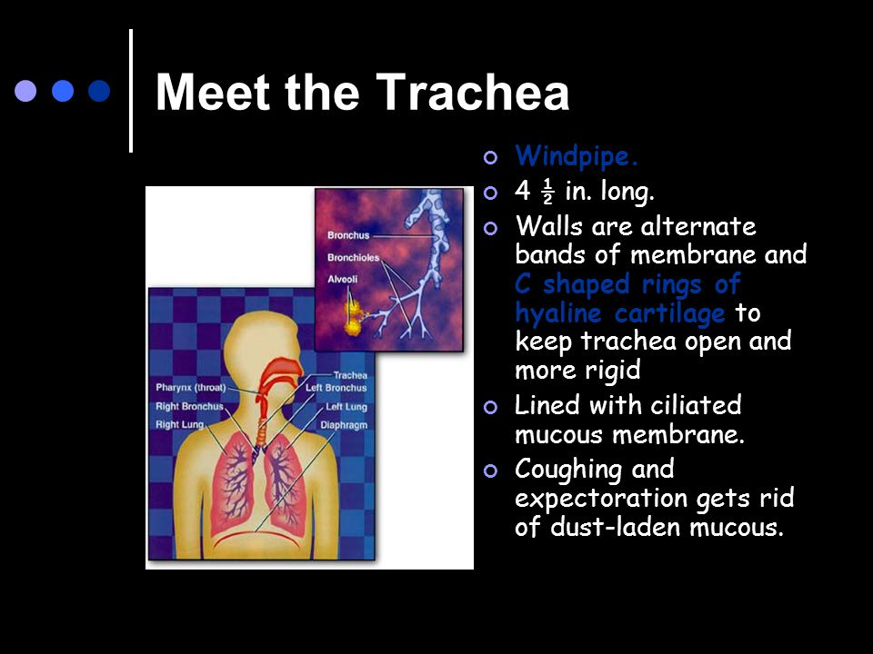 Meet the Trachea Windpipe. 4 ½ in. long. Walls are alternate bands of membrane and C shaped rings of hyaline cartilage to keep trachea open and more r