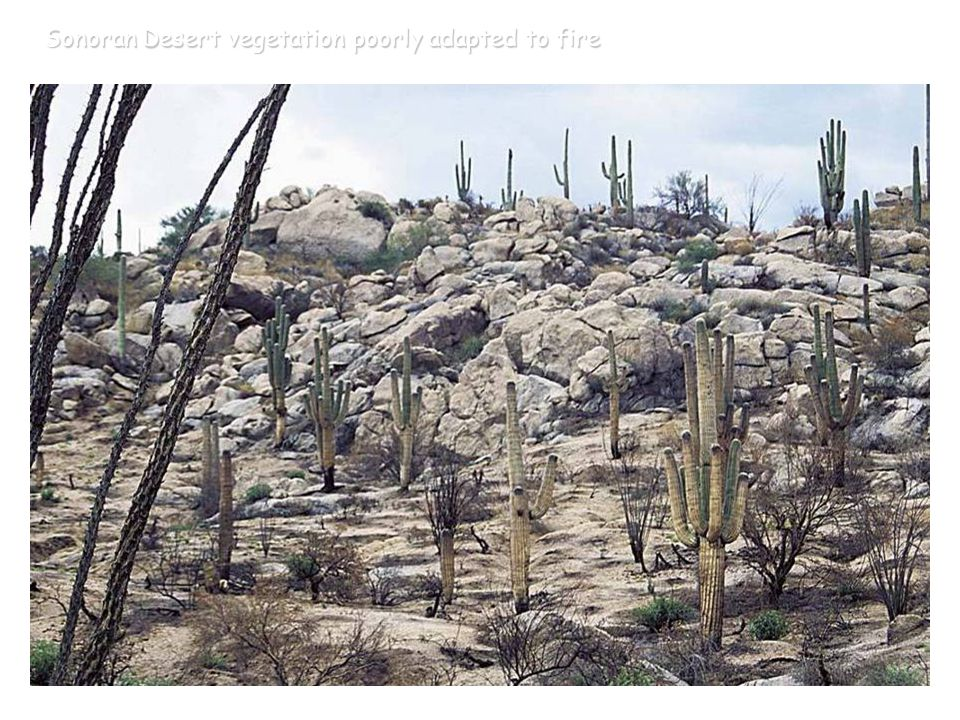 Sonoran Desert vegetation poorly adapted to fire