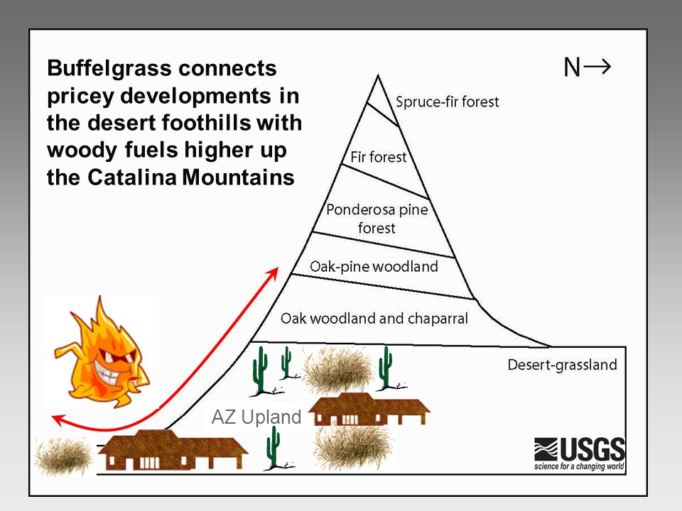 Buffelgrass connects pricey developments in the desert foothills with woody fuels higher up the Catalina Mountains AZ Upland