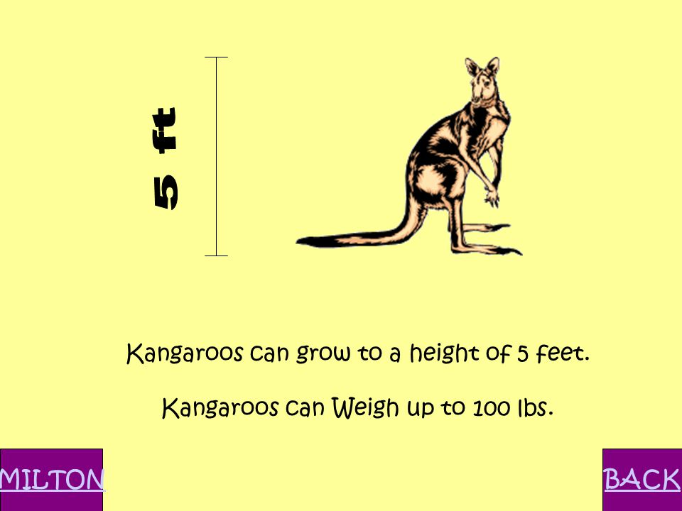 Kangaroos can grow to a height of 5 feet. Kangaroos can Weigh up to 100 lbs. MILTONBACK