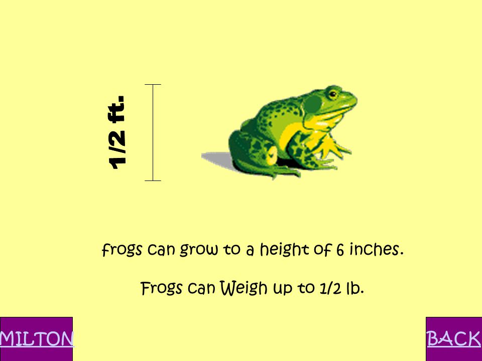 frogs can grow to a height of 6 inches. Frogs can Weigh up to 1/2 lb. MILTONBACK