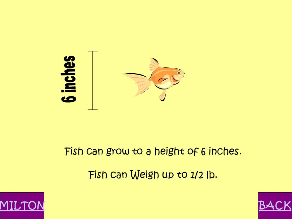 Fish can grow to a height of 6 inches. Fish can Weigh up to 1/2 lb. MILTONBACK
