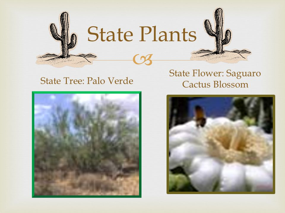 State Plants State Tree: Palo Verde State Flower: Saguaro Cactus Blossom