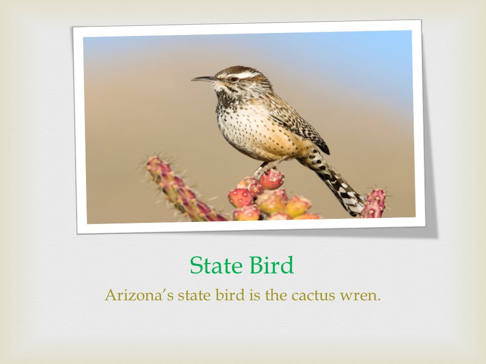 State Bird Arizona's state bird is the cactus wren.