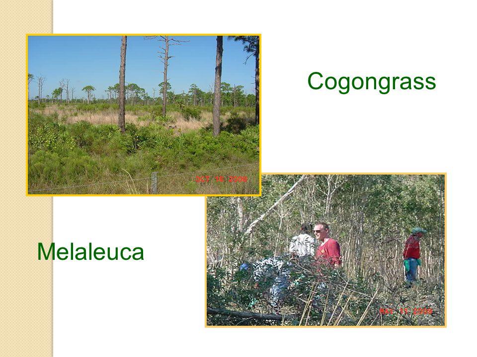 Cogongrass Melaleuca