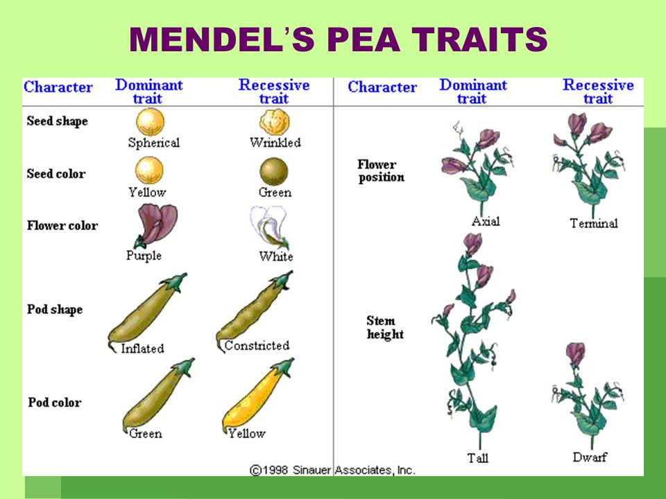 GREGOR MENDEL   Mendel was an Austrian monk who loved gardening and mathematics   He designed simple experiments with pea plants to determine how
