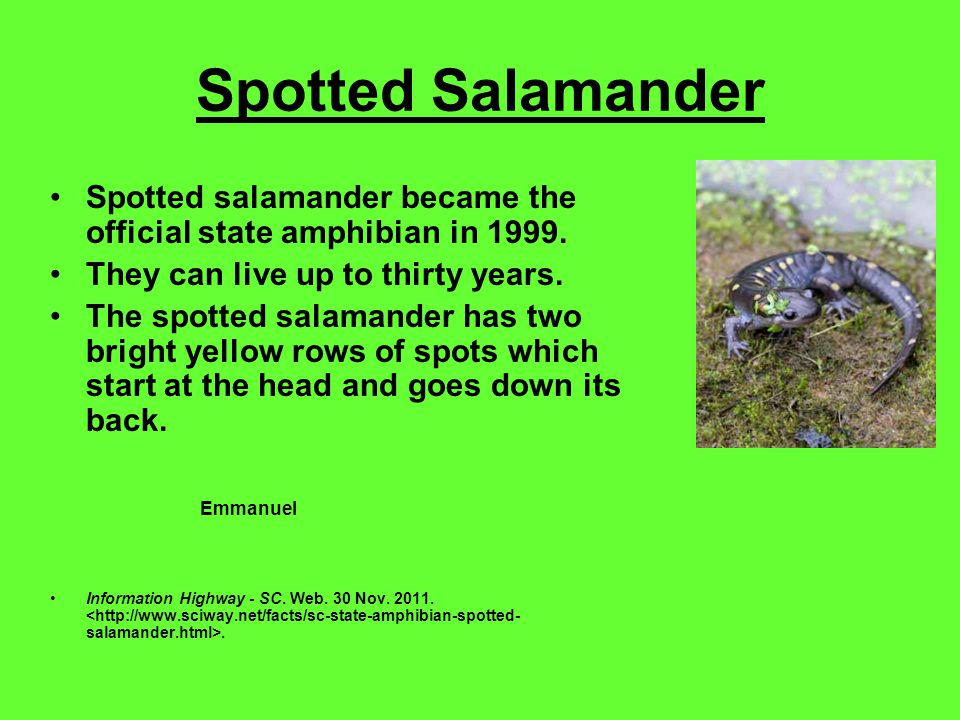 Spotted Salamander Spotted salamander became the official state amphibian in 1999.