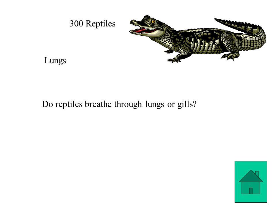 300 Reptiles Lungs Do reptiles breathe through lungs or gills?